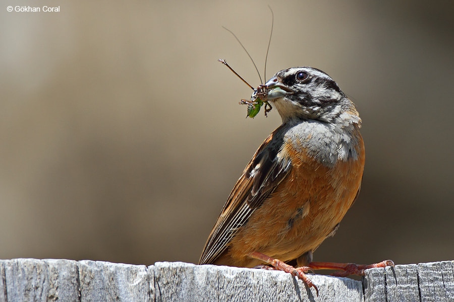 Photograph Rock bunting by Gökhan CORAL on 500px