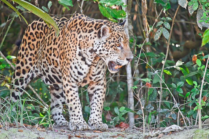 Photograph Jaguar in the Pantanal by Shaun Stanley on 500px