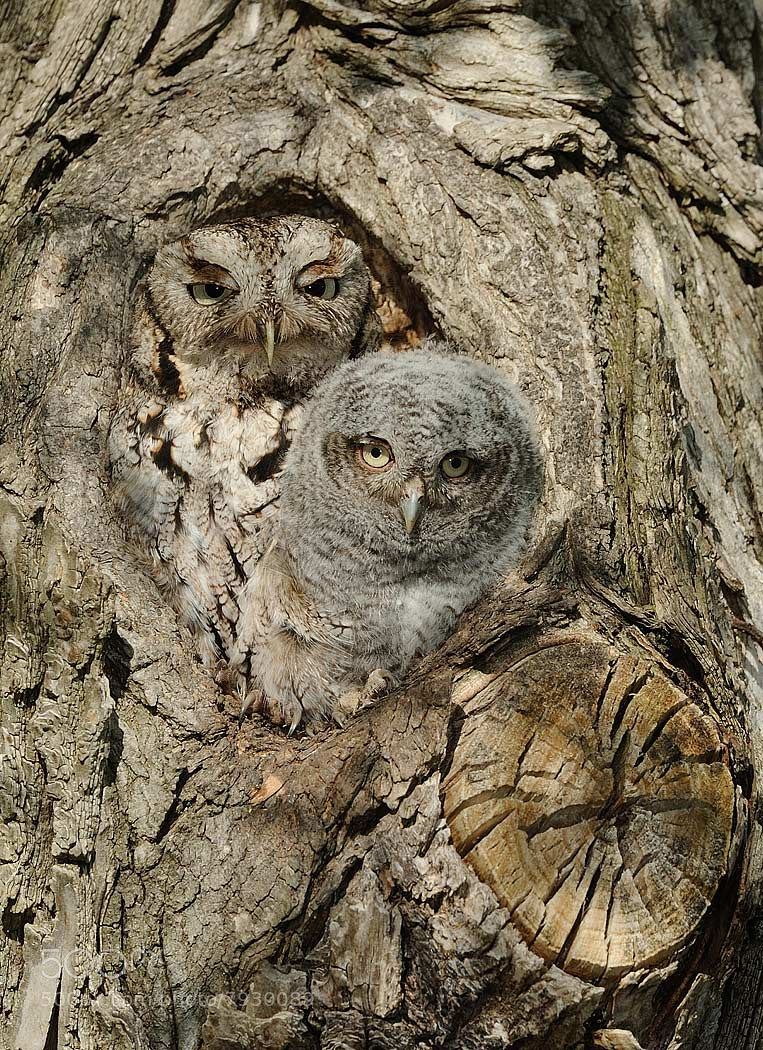Photograph Eastern Screech Owls by Joe Iocco on 500px