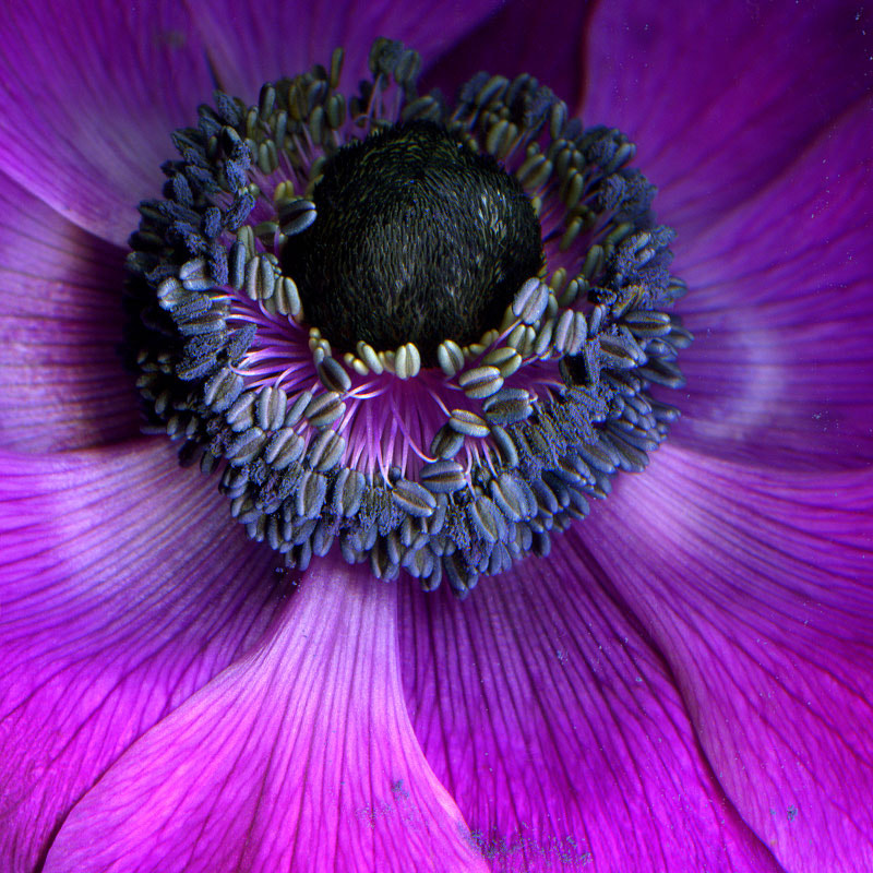 Photograph THE MAUVE ANEMONE de CAEN with THE BEAUTIFUL POLLEN DUSTED HEART... by Magda Indigo on 500px