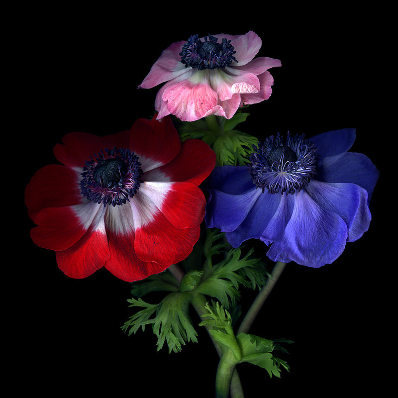 Photograph  PURPLE POLLEN-DUSTED ANEMONES... by Magda Indigo on 500px