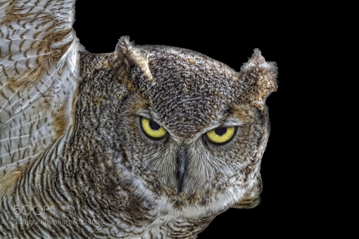 Photograph Great Horned Owl by John Mead on 500px