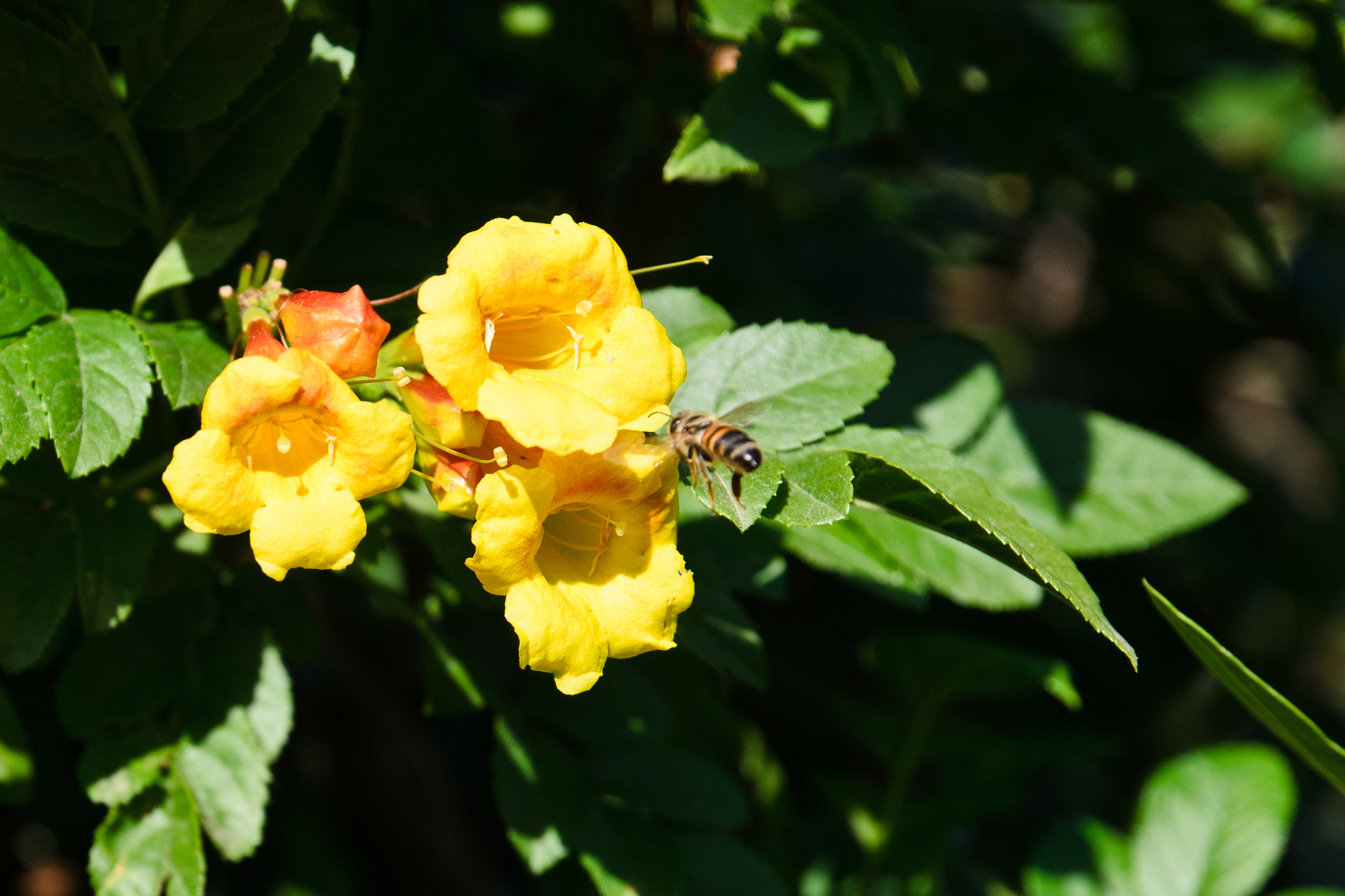 Photograph Yellow flower and a bee by Michael Goyberg on 500px