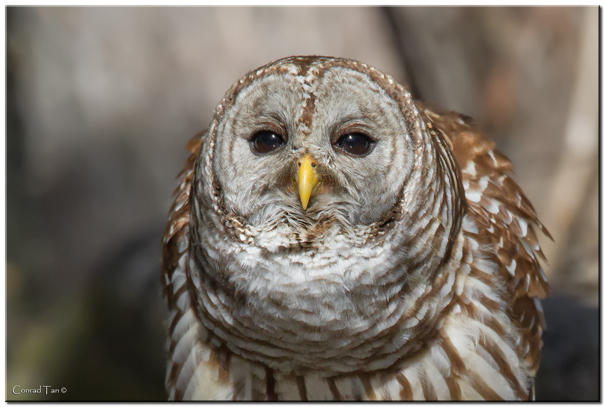 Photograph Barred Owl by Conrad Tan on 500px