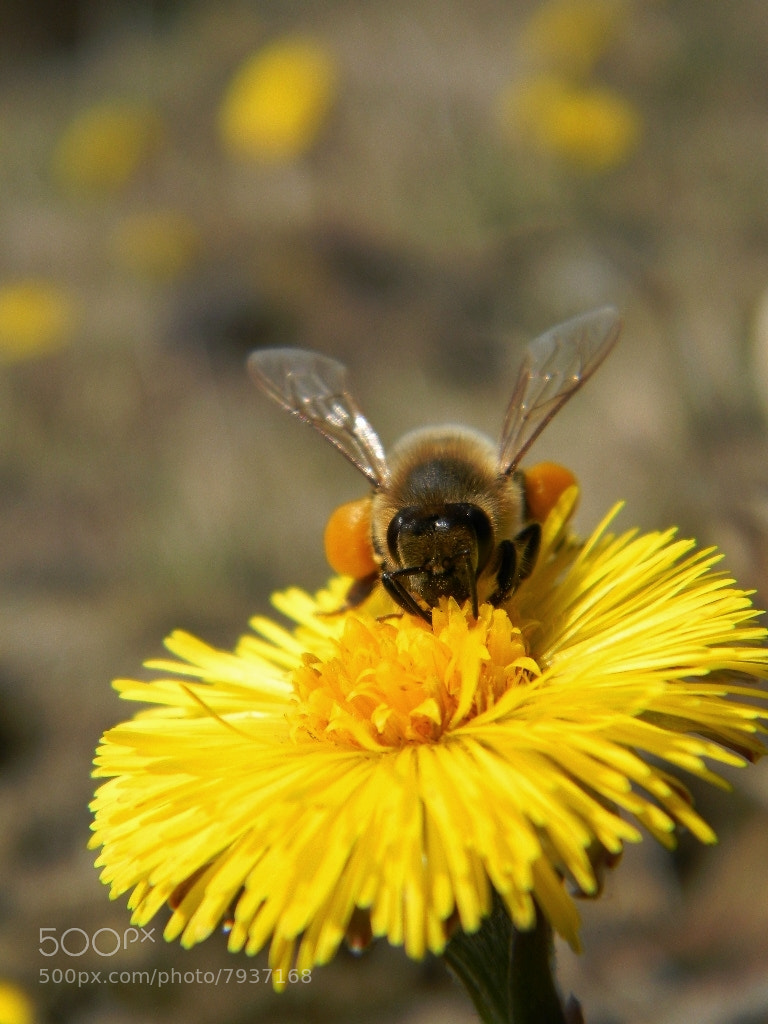 Photograph Bee by Anne B on 500px