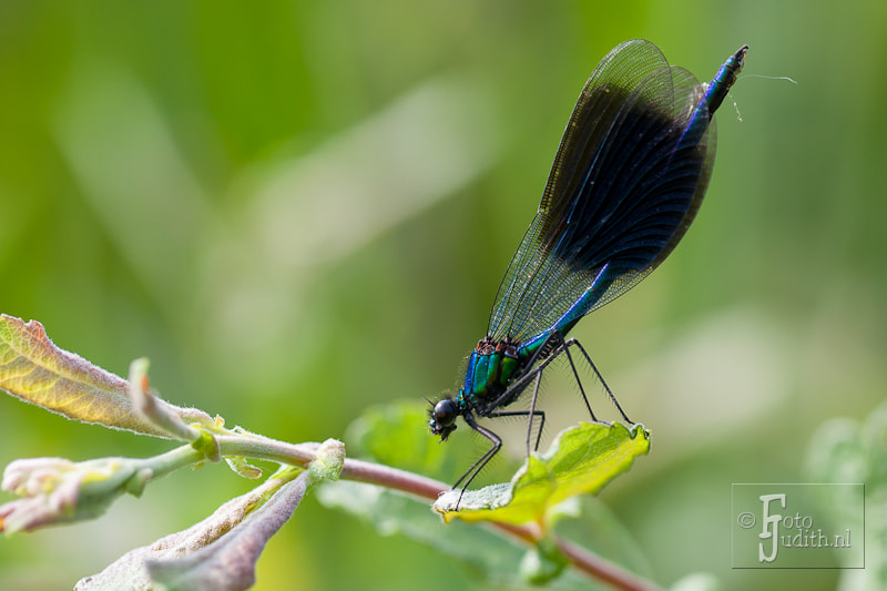 Photograph Beautiful Demoiselle Male by Judith Borremans on 500px