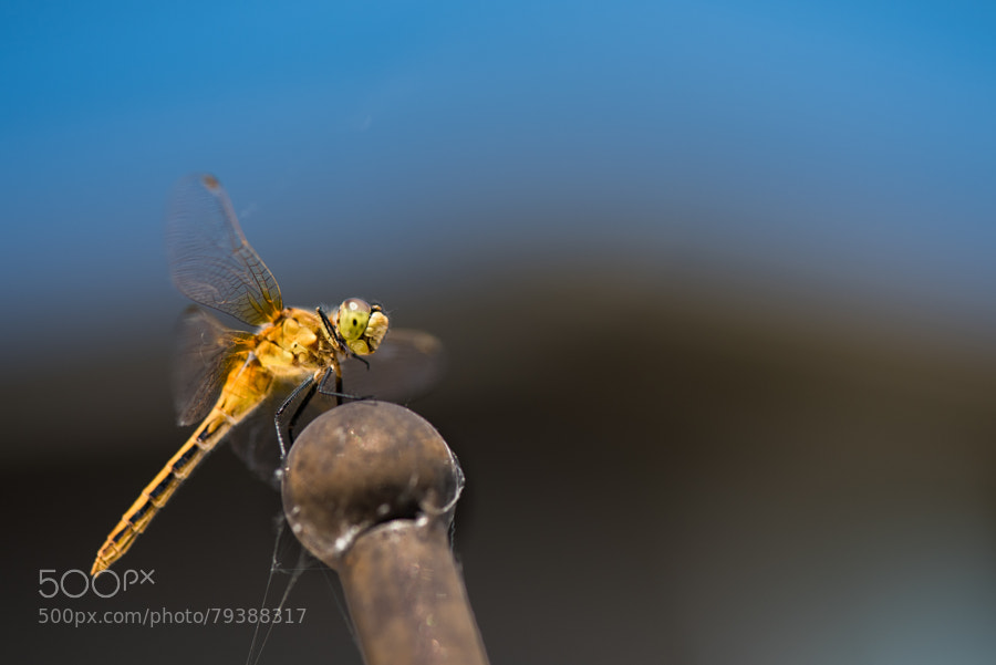 Photograph Yellow Dragonfly by Jay Scott on 500px