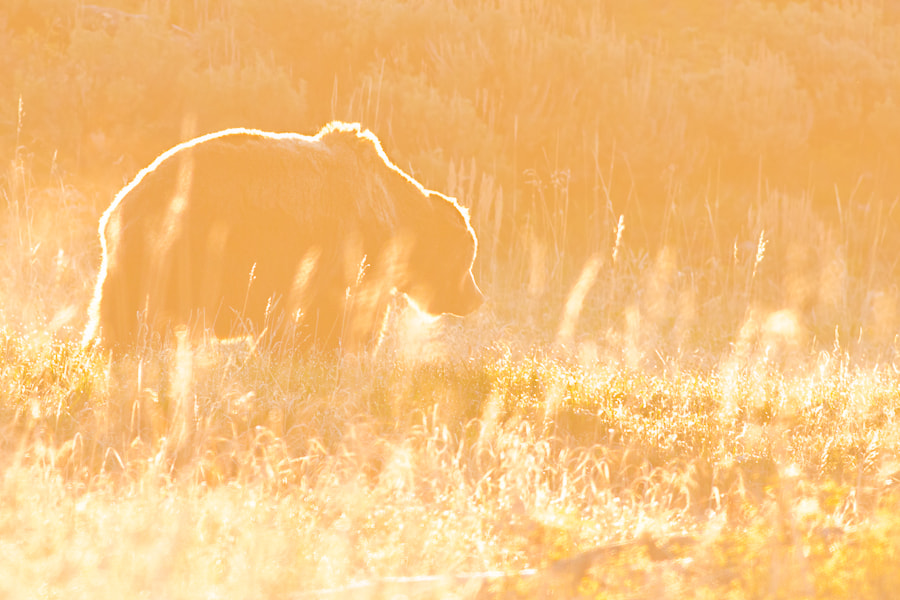 Photograph Grizzly Bear by Mark Summers on 500px