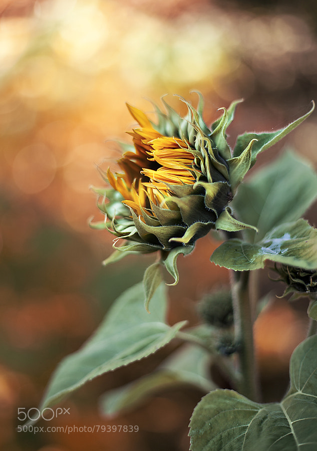 Photograph Autumn sunflower by Anna Karin Pålsson on 500px