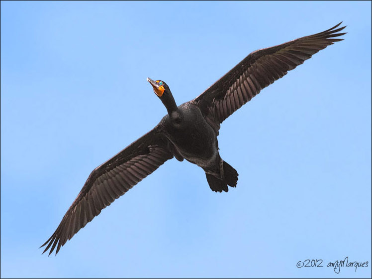 Photograph Double-crested Cormorant In Flight by Amy Marques  on 500px