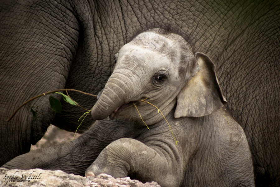 Baby elephant plays with tree branch
