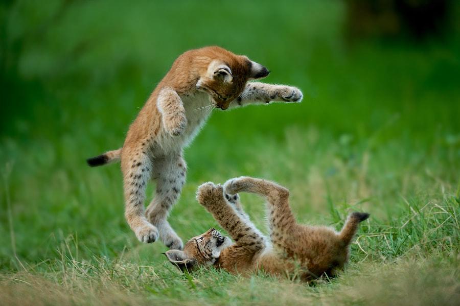Flying lynx by Stefan Rosengarten on 500px.com
