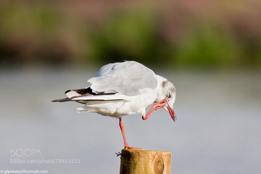 Slender billed gull caught scratching an itchy eye - Lake, London, UK