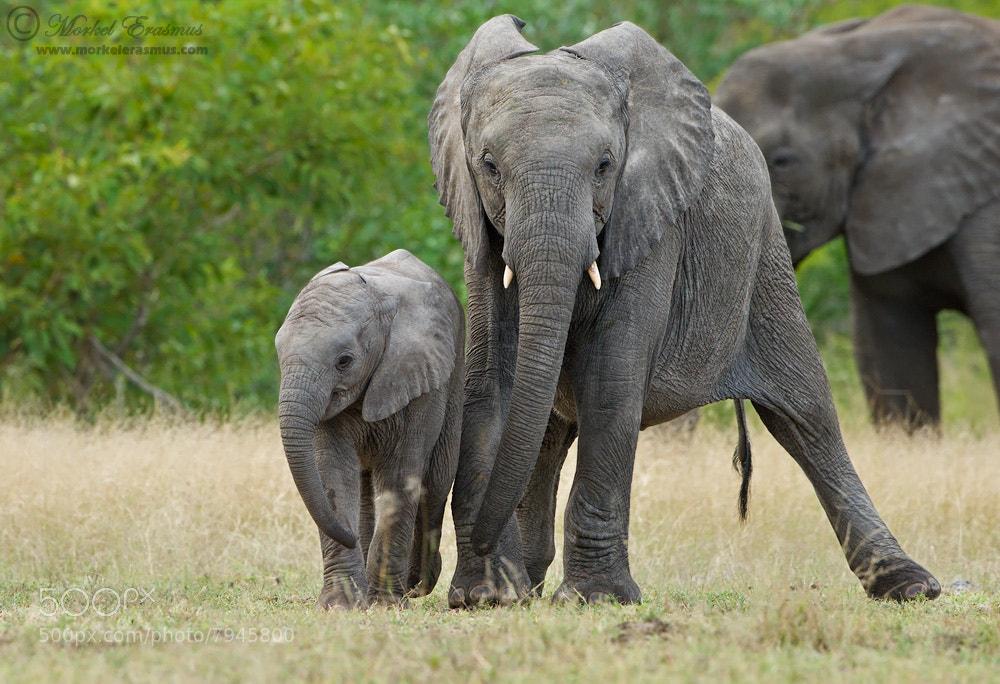 Photograph Drunk Elephant by Morkel Erasmus on 500px