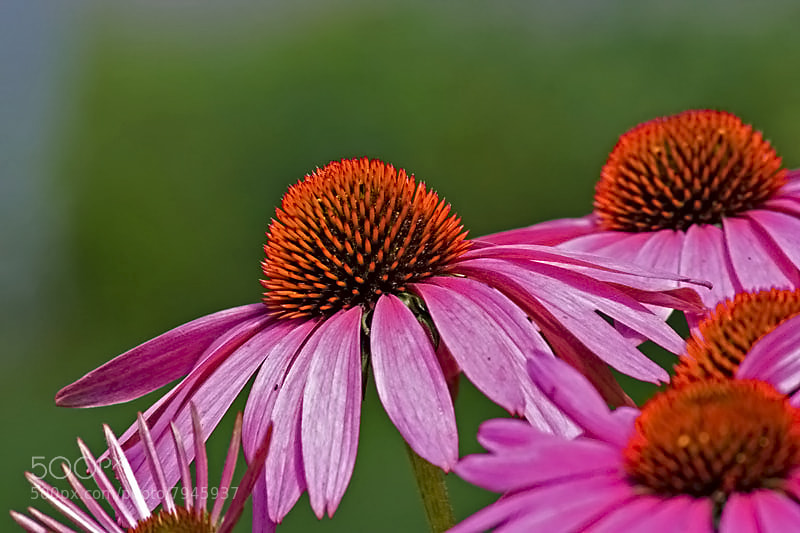 Photograph Flowers by Josee Roy on 500px