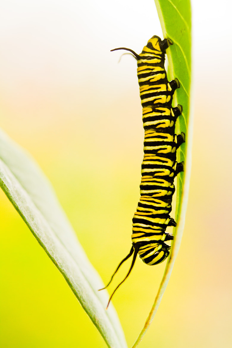 Photograph Monarch Caterpillar by Sonia Roveda on 500px