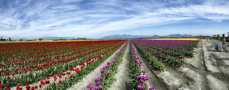 Photograph Tulip farm by Wendy Summers on 500px