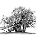 The Big Tree - Muri Kunguluwa - Sagole Baobab 140x100cm Canvas print.