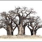 Baines Baobabs at Nxai Pan Botswana.