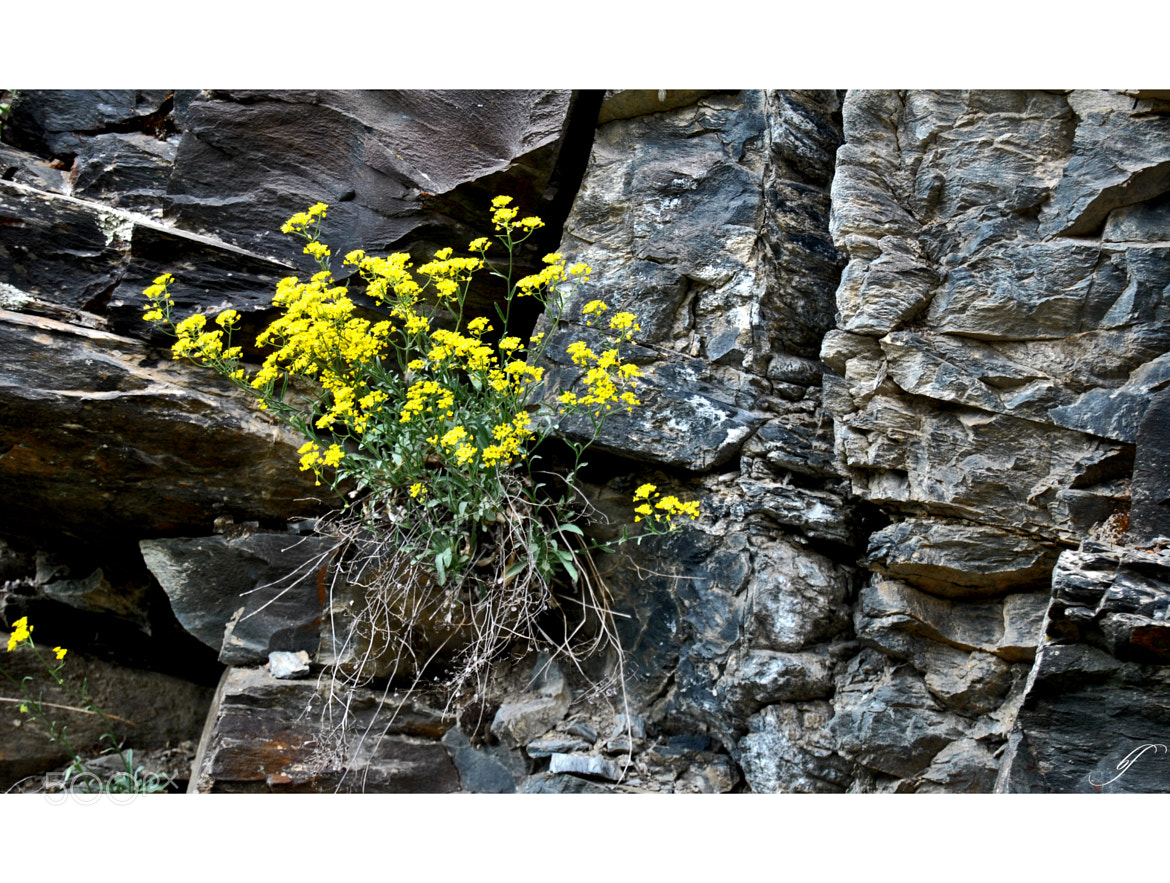 Photograph Harshness of stone and floral beauty by Burim Fejsko on 500px