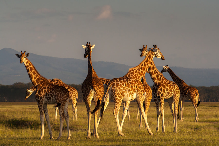 Giraffes by Pierre-Yves Babelon on 500px.com