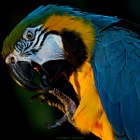 Arthur is a blue and gold macaw.  He lives at the Bloedel Conservatory in Vancouver.