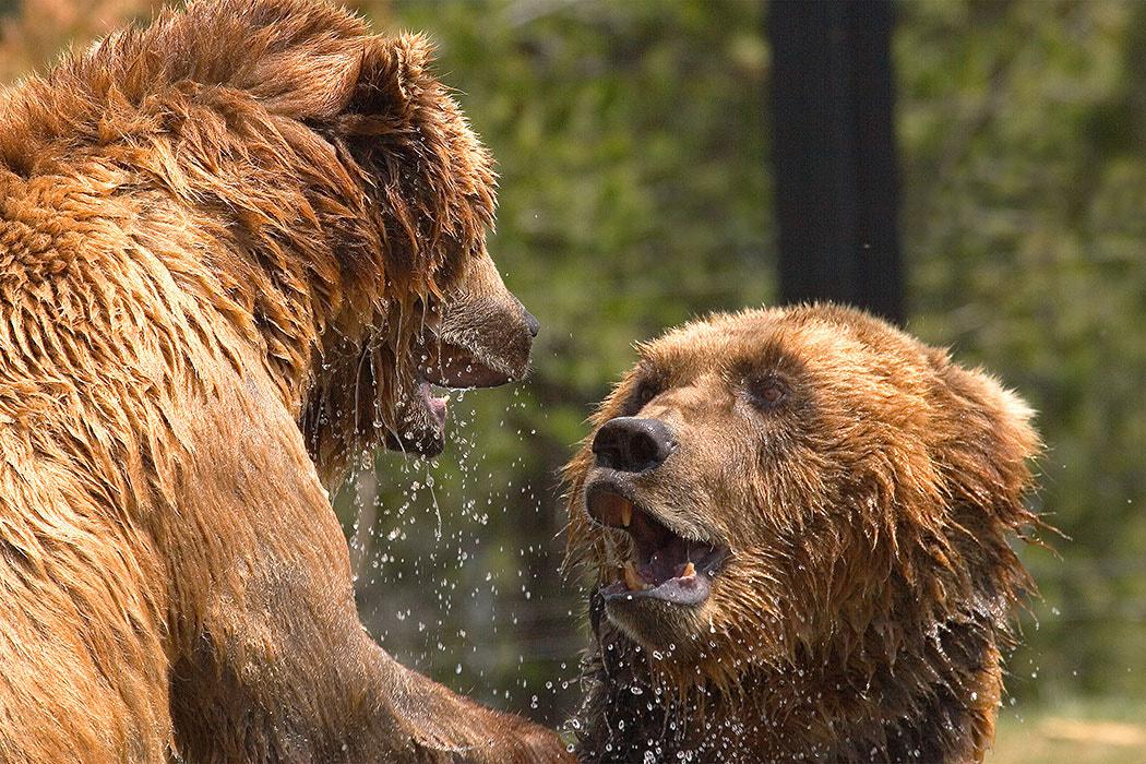 Photograph Grizzly Gaze by Stephen Oachs on 500px