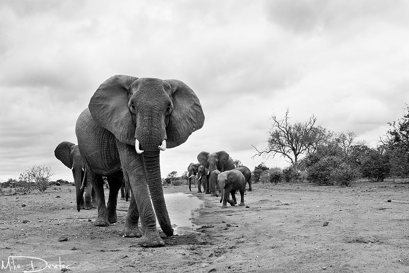 Photograph Elephant stare down by Mike Dexter on 500px