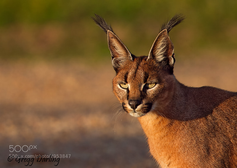 Photograph Caracal by Gregg Darling on 500px