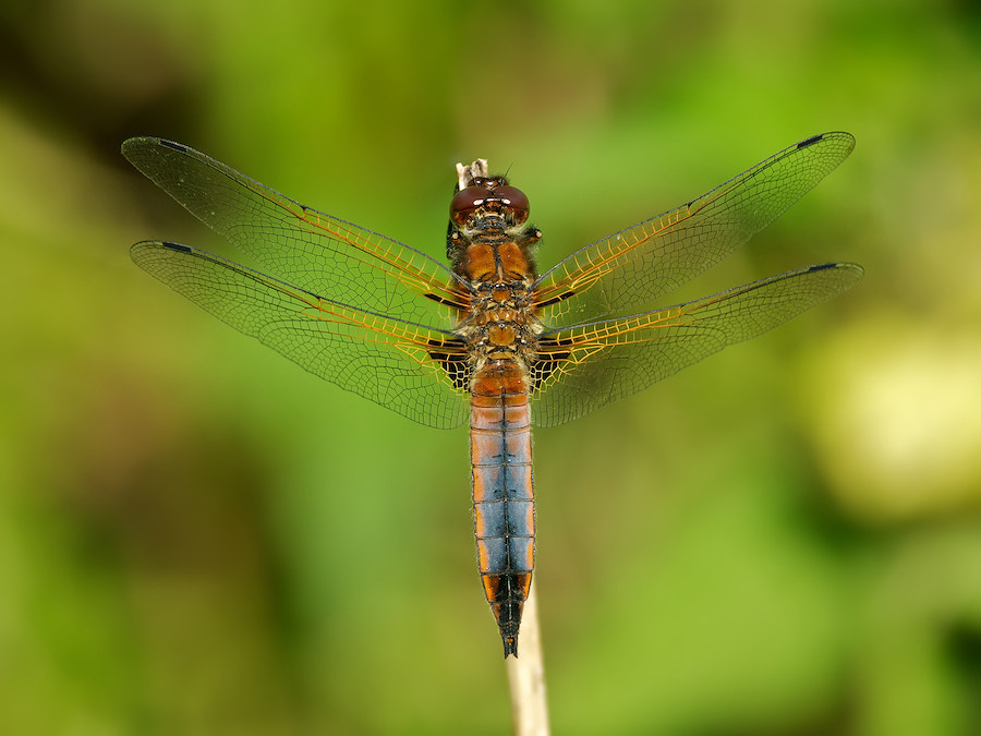 Photograph Blue Chaser coloring by Erik Veldkamp on 500px