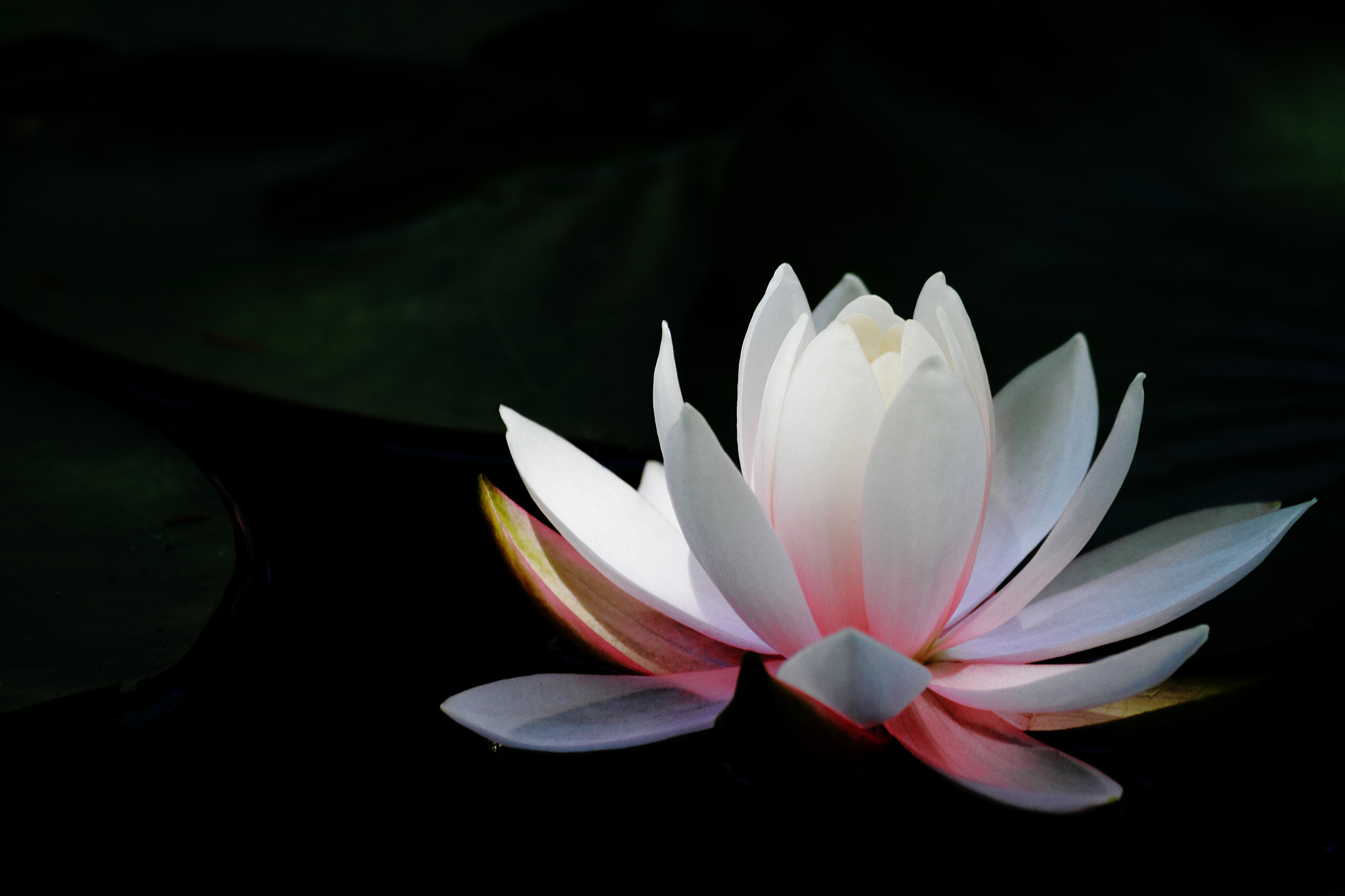 Photograph Water lily by Hiroshi Oka on 500px