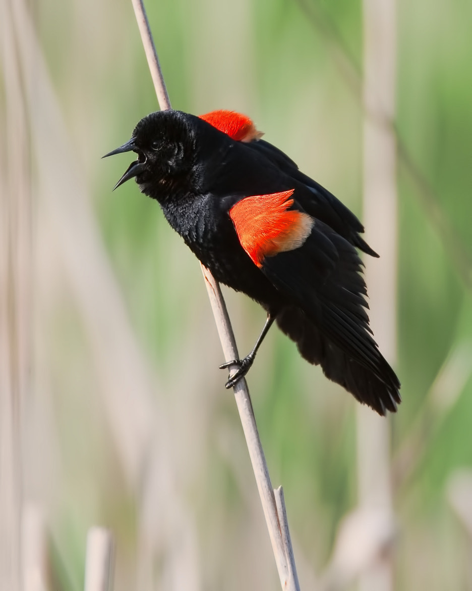 Photograph Red-winged Blackbird ( Carouge à épaulettes ) by bruno Lazzoni on 500px