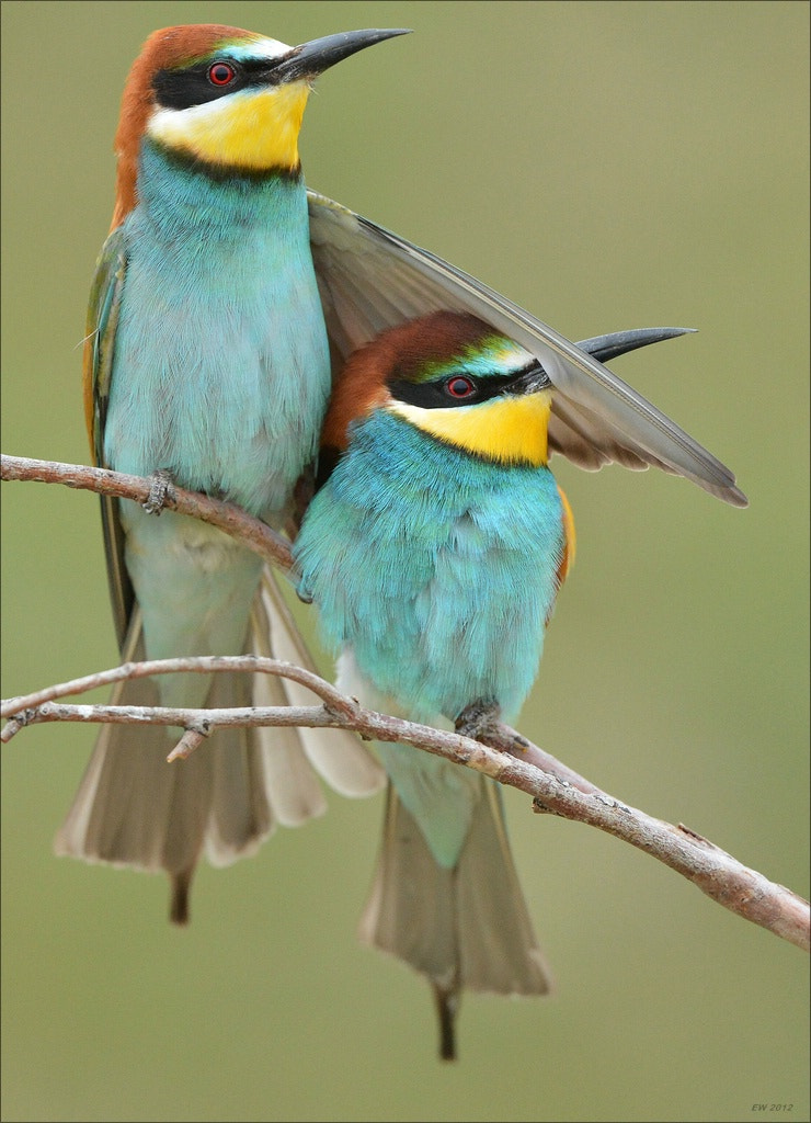 Photograph Bee-Eater Couple by Elmar Weiss on 500px