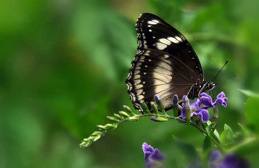 Photograph Butterfly 2 by Khoo Boo Chuan on 500px
