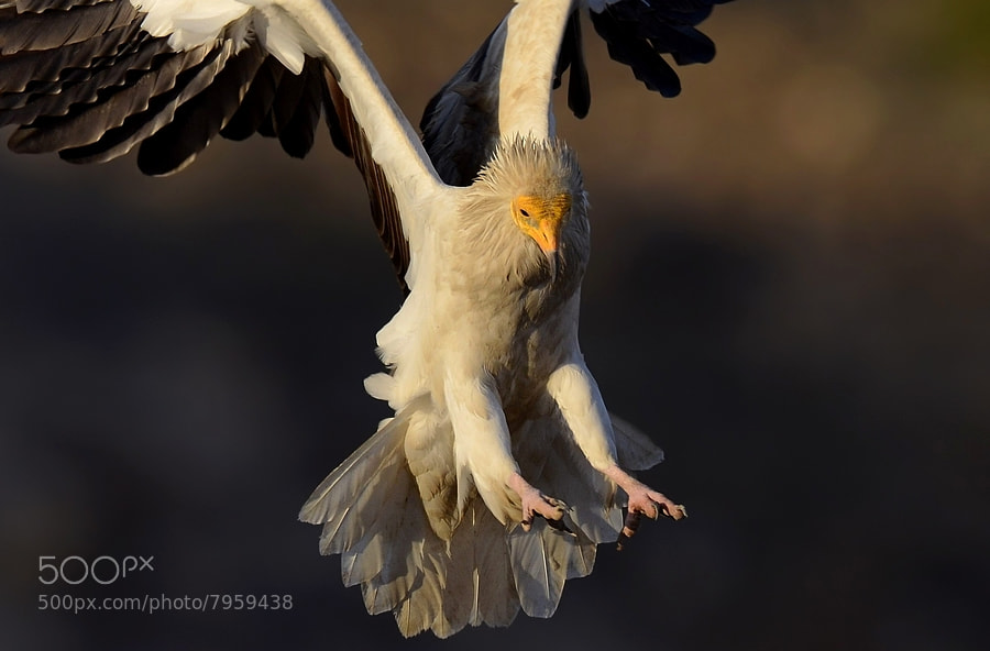 Photograph Egyptian vulture by Murat Çalışkan on 500px