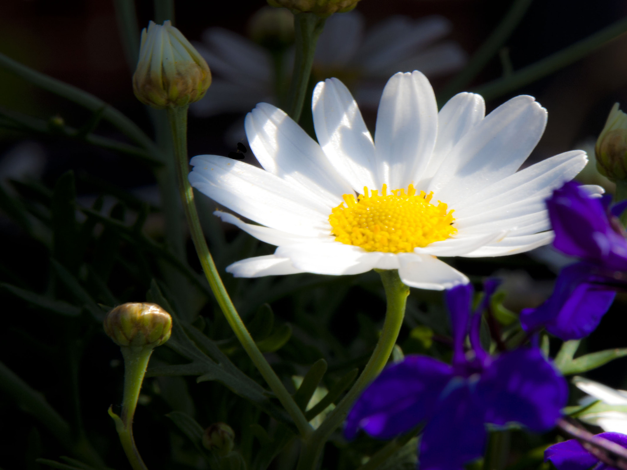 Photograph daisy by Leila Raymond on 500px