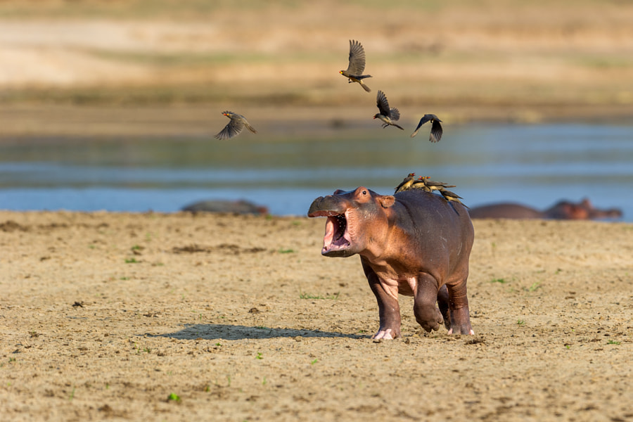 Photograph Flighty hippo by Marc MOL on 500px