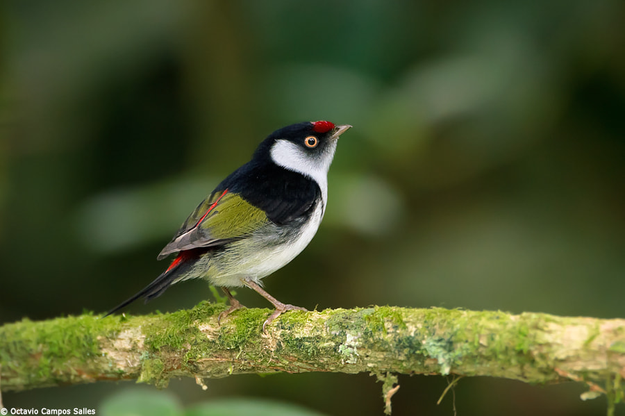 Photograph Pin-tailed Manakin (Ilicura militaris) by Octavio Campos Salles on 500px