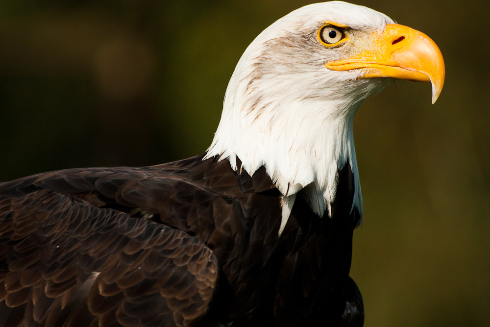 Photograph Bald eagle by Paul Howcroft on 500px