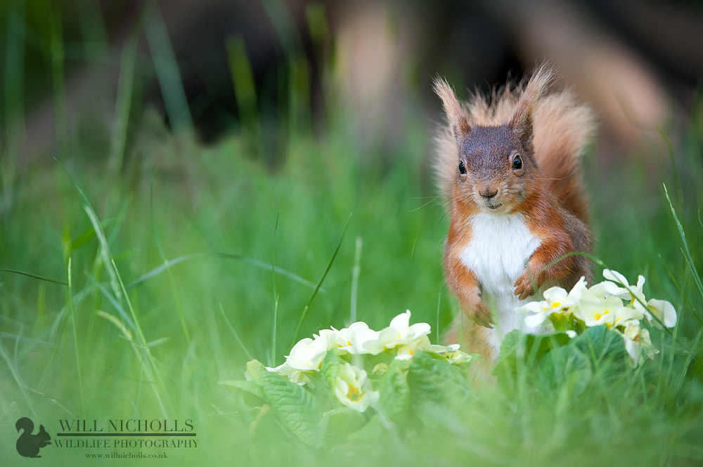 Photograph Red Squirrel in Primroses by Will Nicholls on 500px