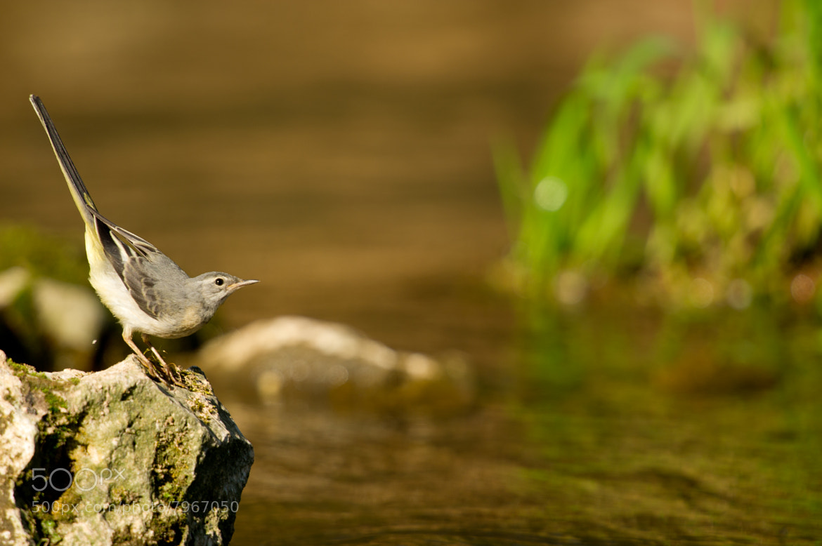 Photograph Grey Wagtail by James Wright on 500px