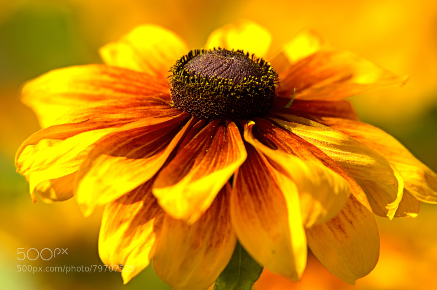 Photograph rudbeckia by paul andrews on 500px