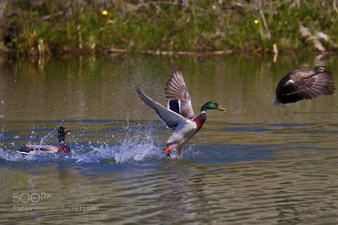 Photograph Swim - Takeoff - Fly by Florian Rudolph on 500px