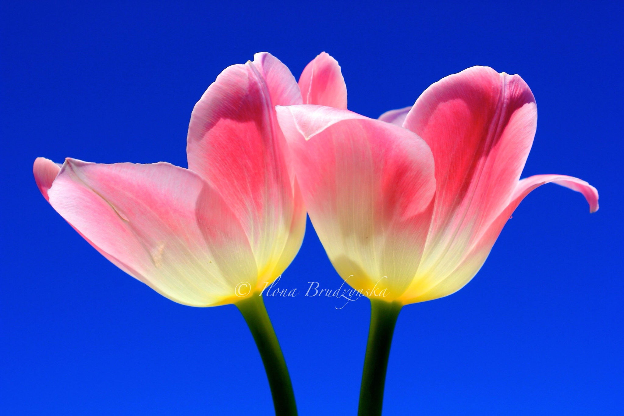 Photograph pinky duo by Ilona B on 500px