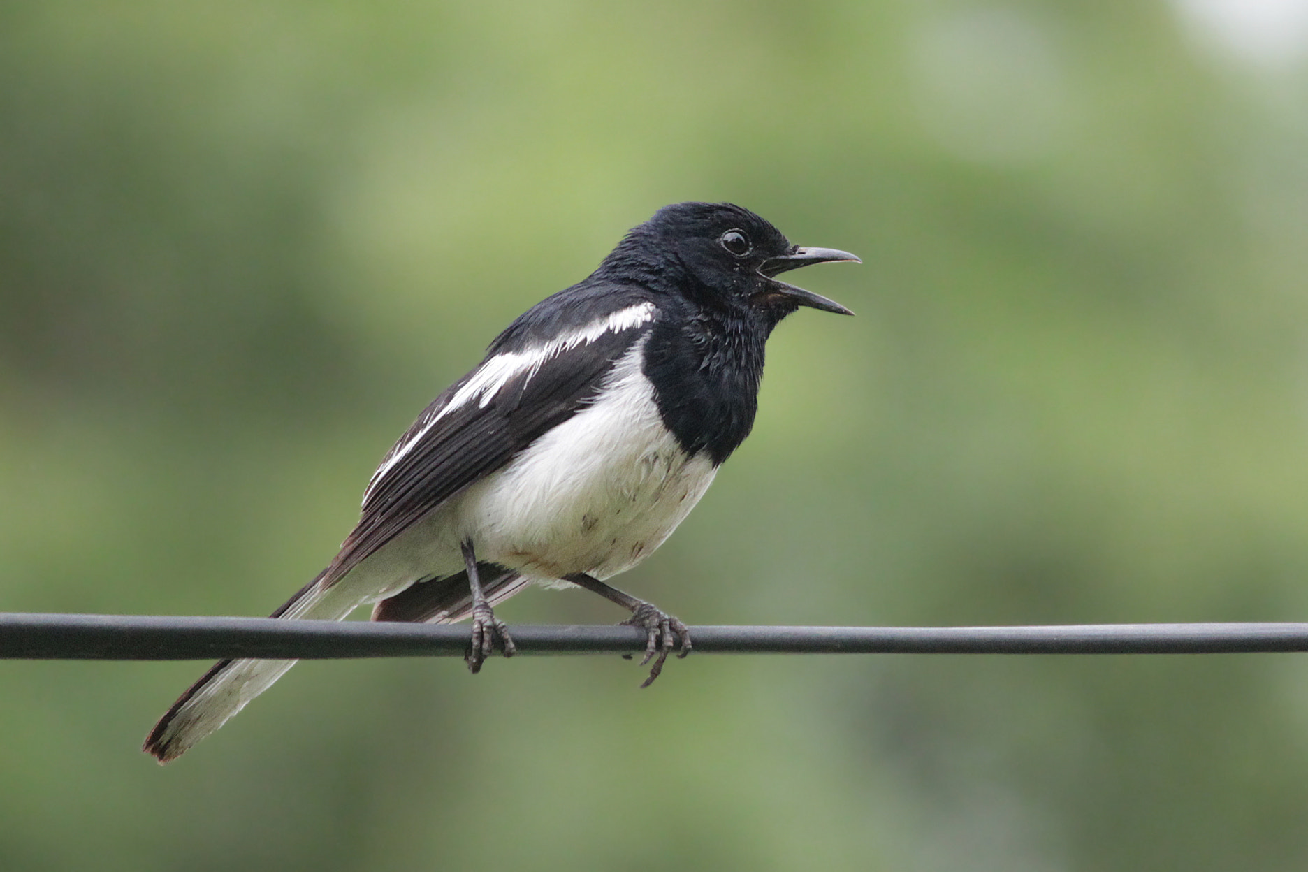 Photograph The oriental magpie-robin (Copsychus saularis) by Subhash Masih on 500px