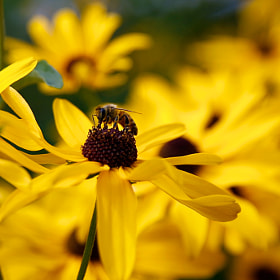 Collecting food from a black-eyed Susan