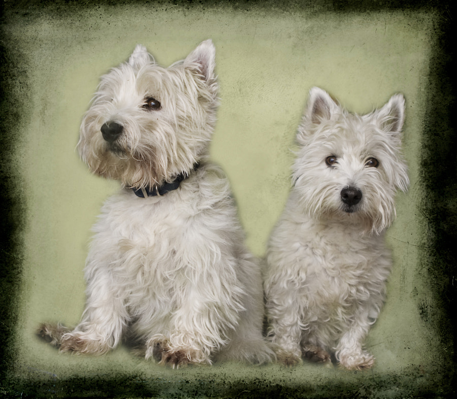 Westies Portrait