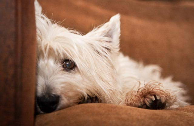 Fred The Westie Relaxing
