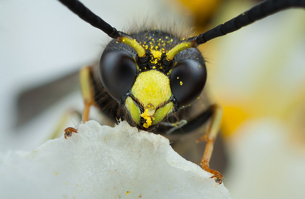 Photograph Potter Wasp by Alistair Campbell on 500px