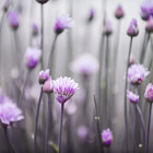 Постер, плакат: Flowering chives III